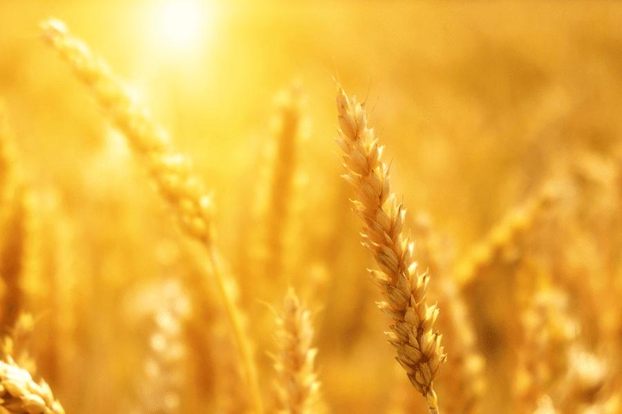 Weizen Gluten